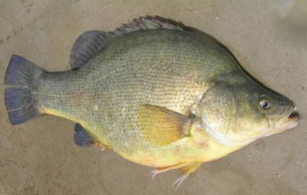 This adult Golden perch has been tagged to gather information on its growth, movement and health